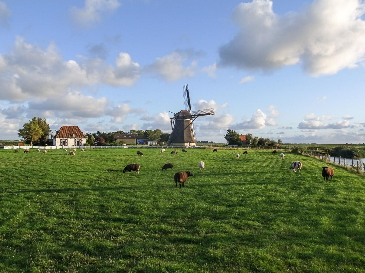 Schafe und Windmühle