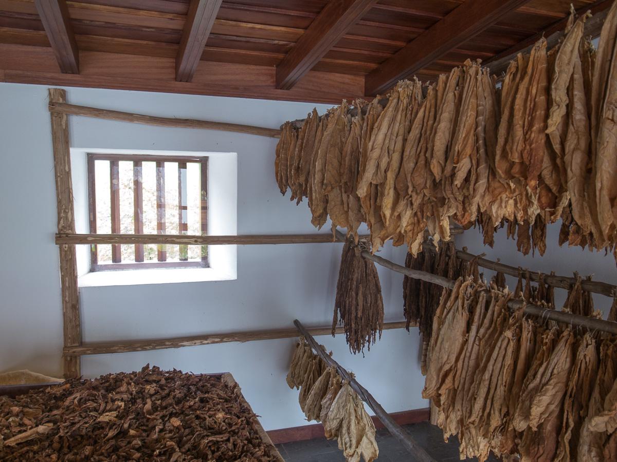 Tabak-Blätter beim Trocknen